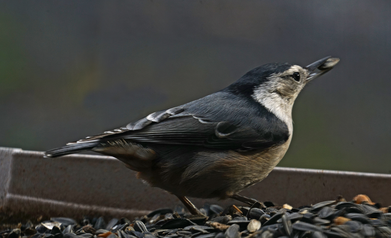 nuthatch author sava gregory and verena thanks