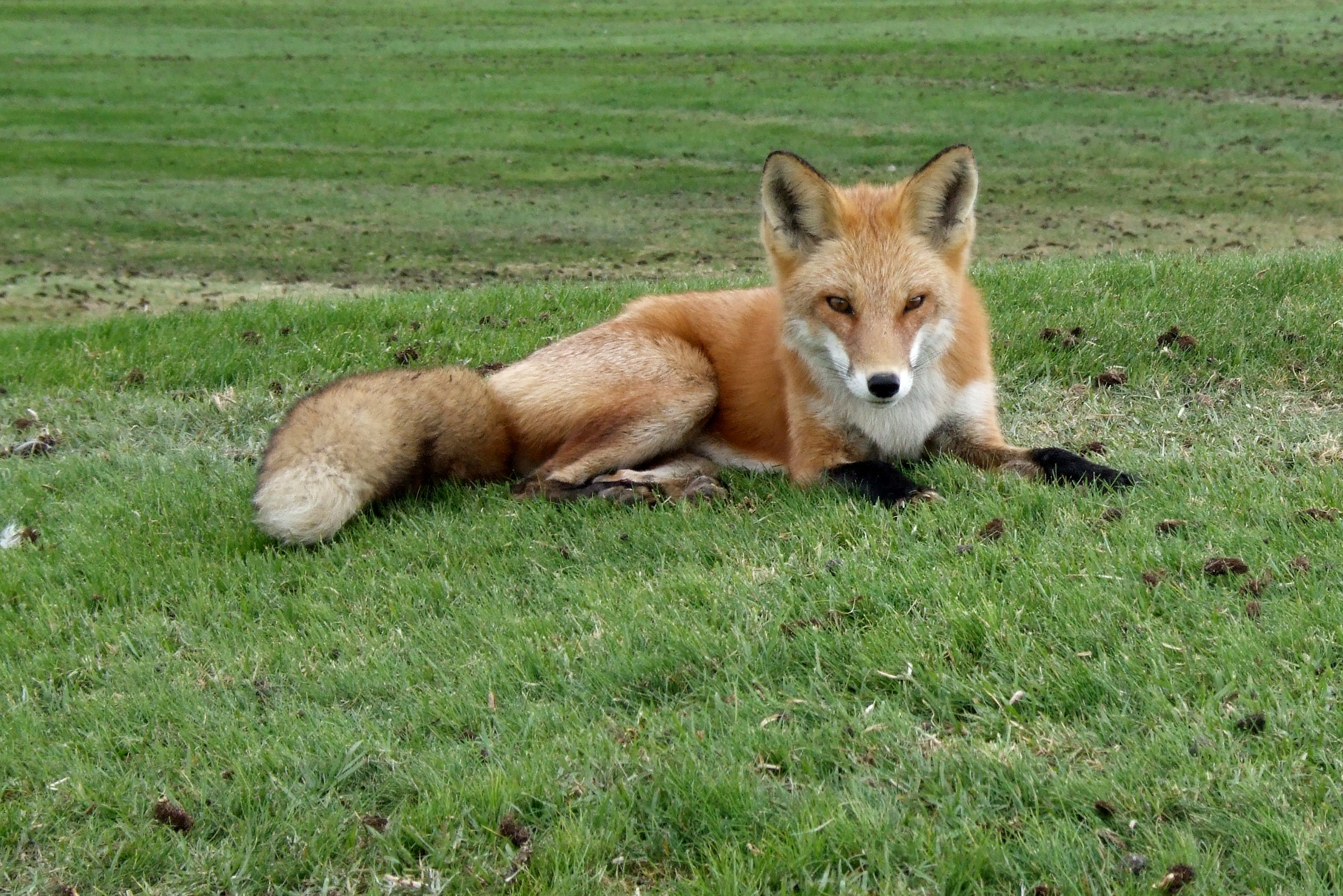 fox at monarch bay author lucke charlie the