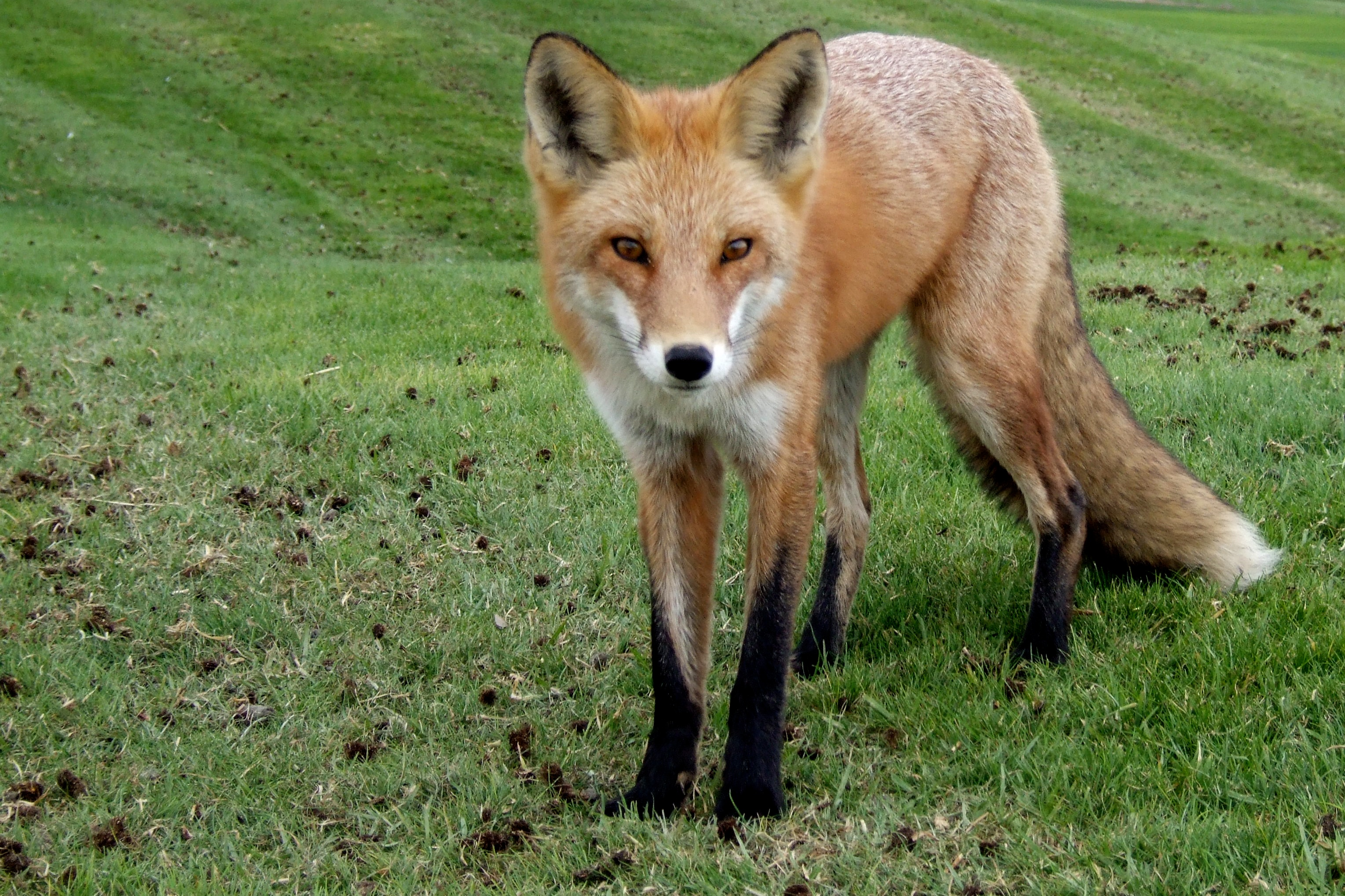 fox at monarch bay author lucke charlie curious