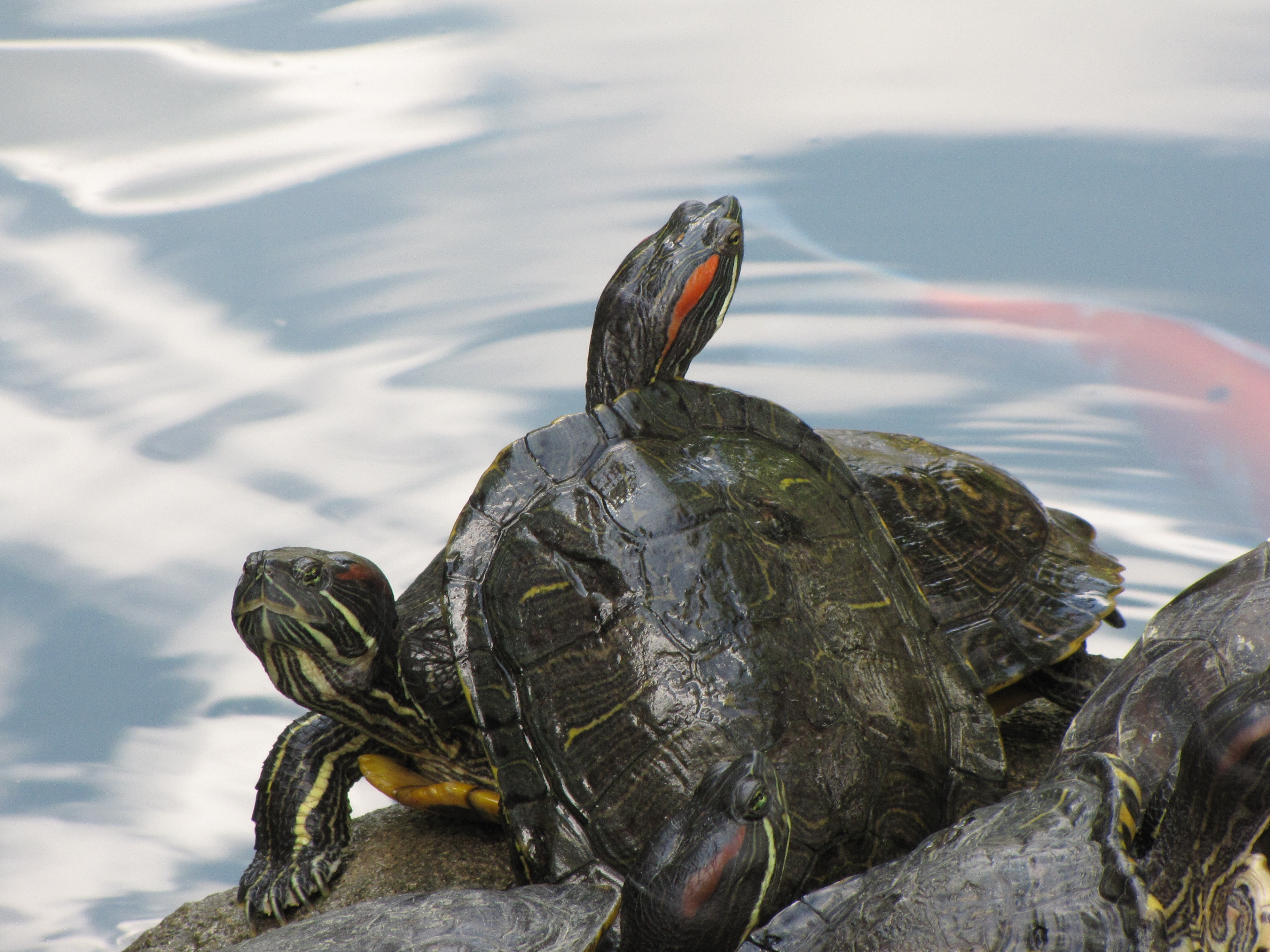 turtle dominance author lucke charlie close up o