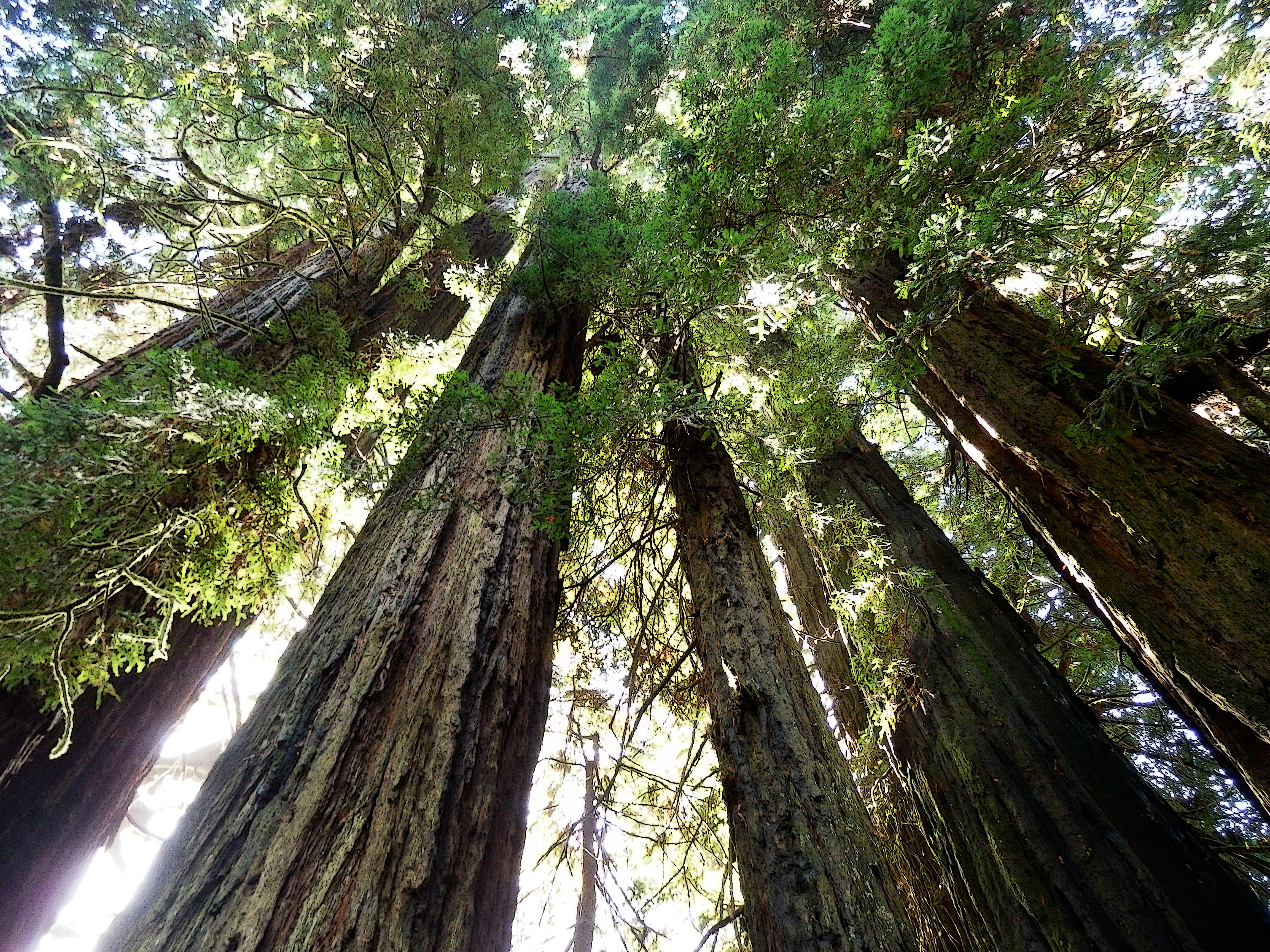 redwoods author lucke charlie