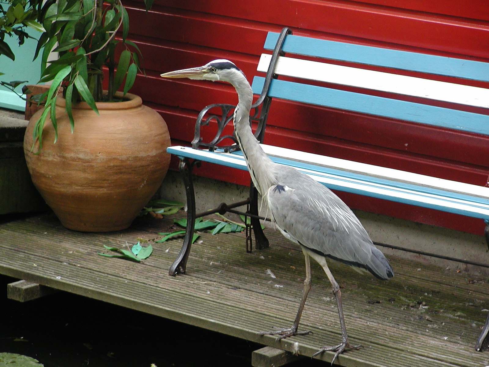 strolling author lucke charlie great blue heron