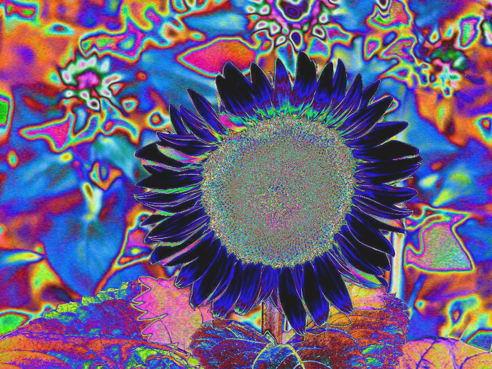 psychedelic sunflower author lucke charlie