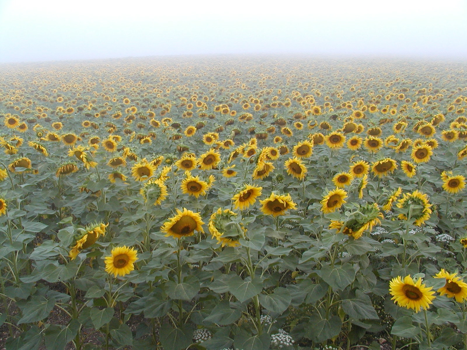 field of sunflowers author lucke charlie misty m
