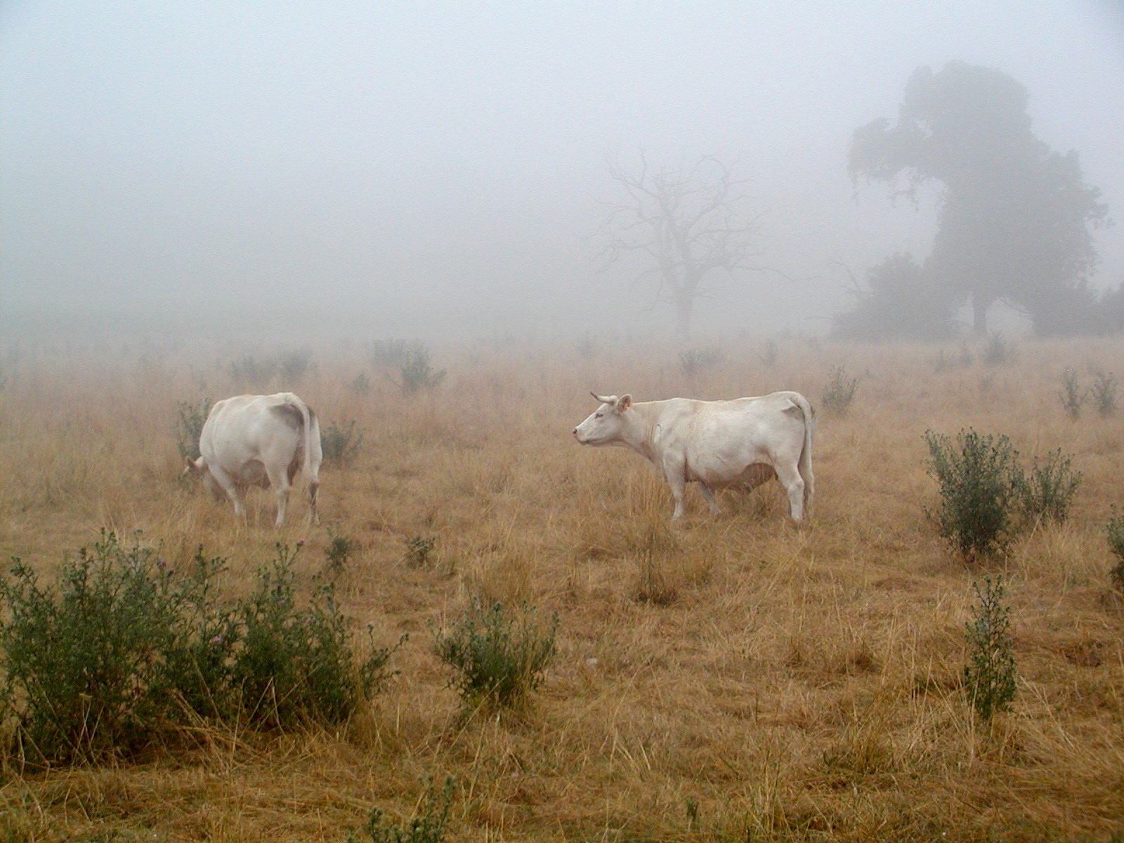 cows in the mist author lucke charlie early morn