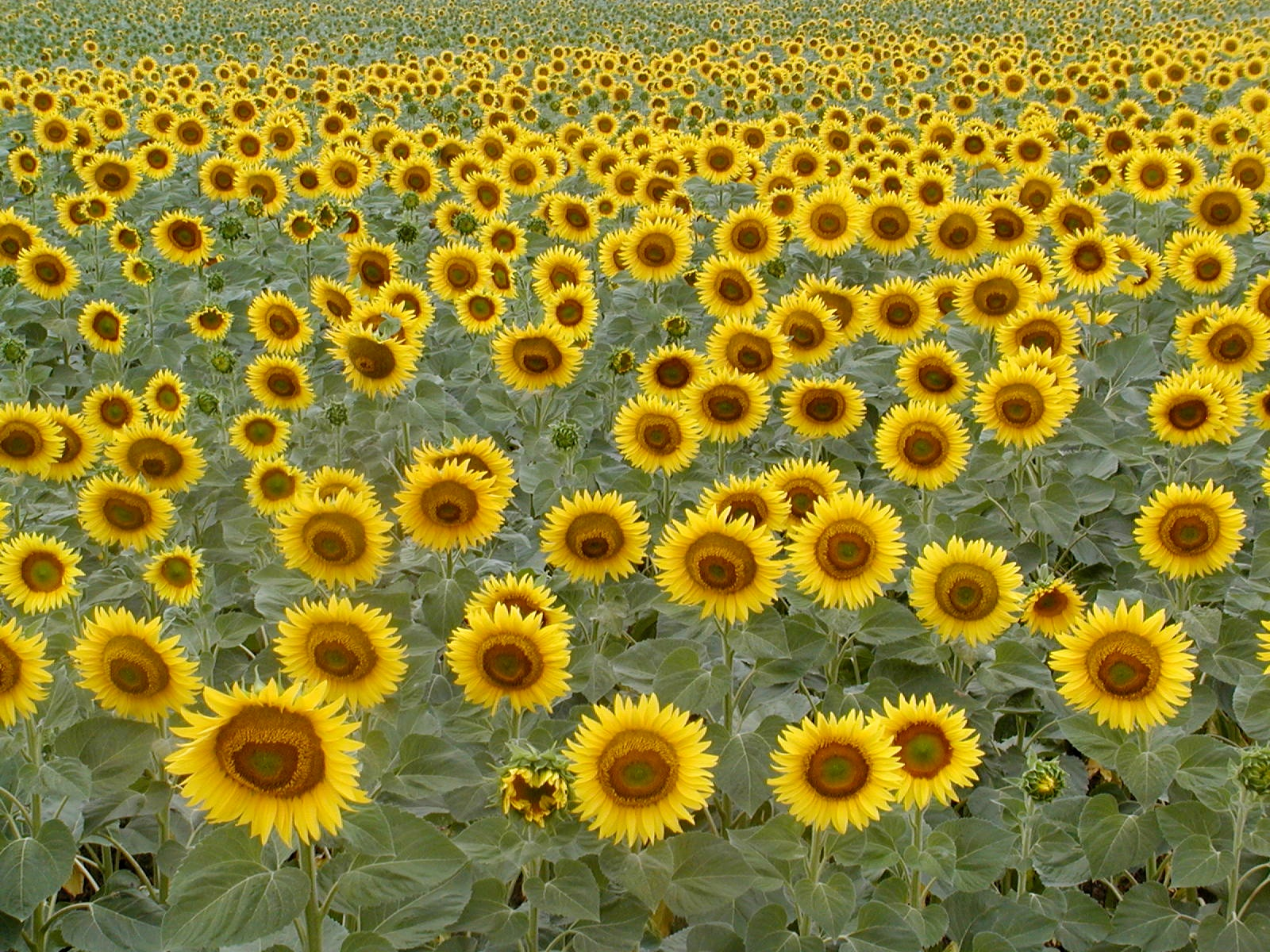 endless sunflowers author lucke charlie perfect