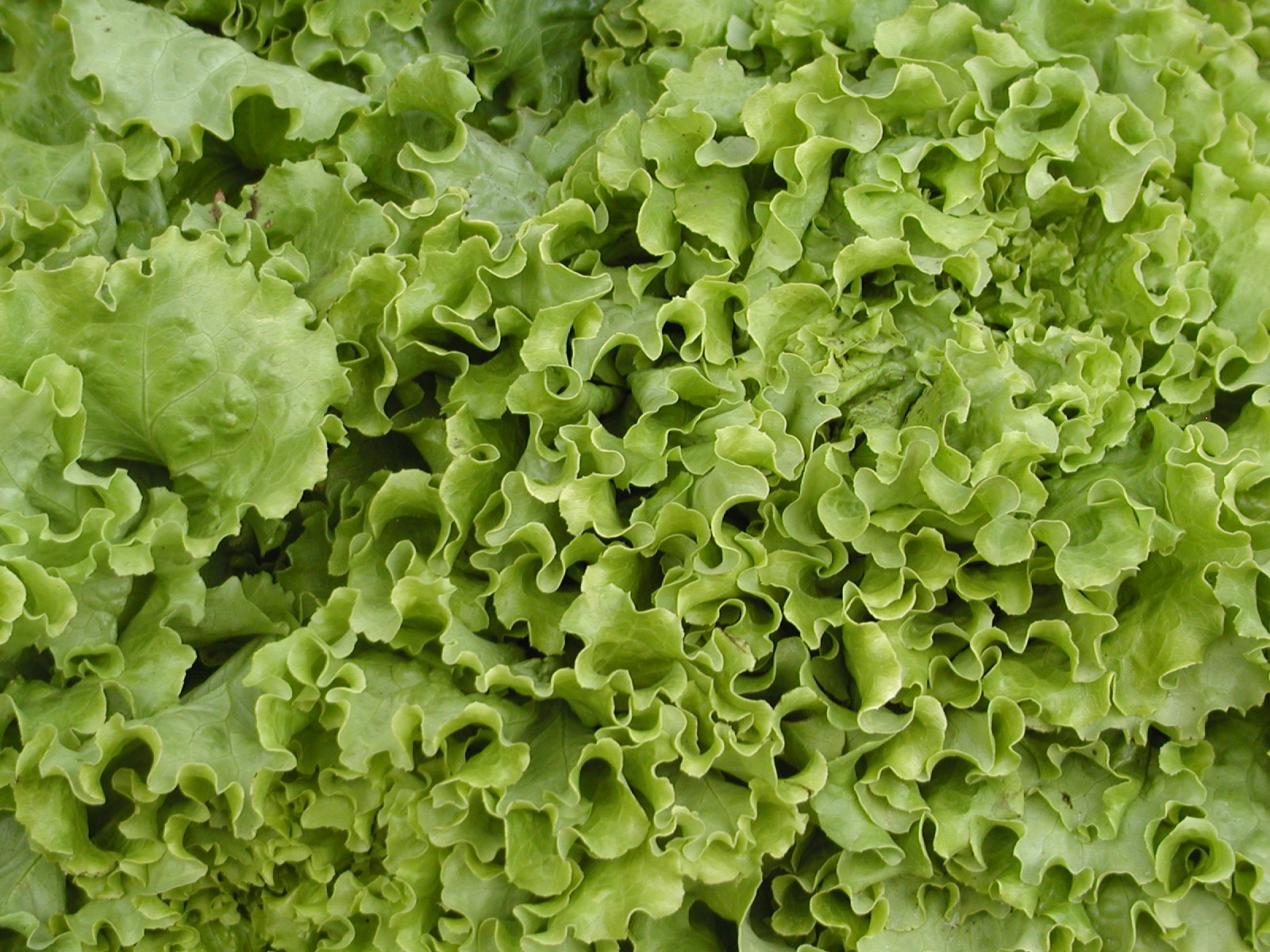 lettuce ready to eat author lucke charlie liked