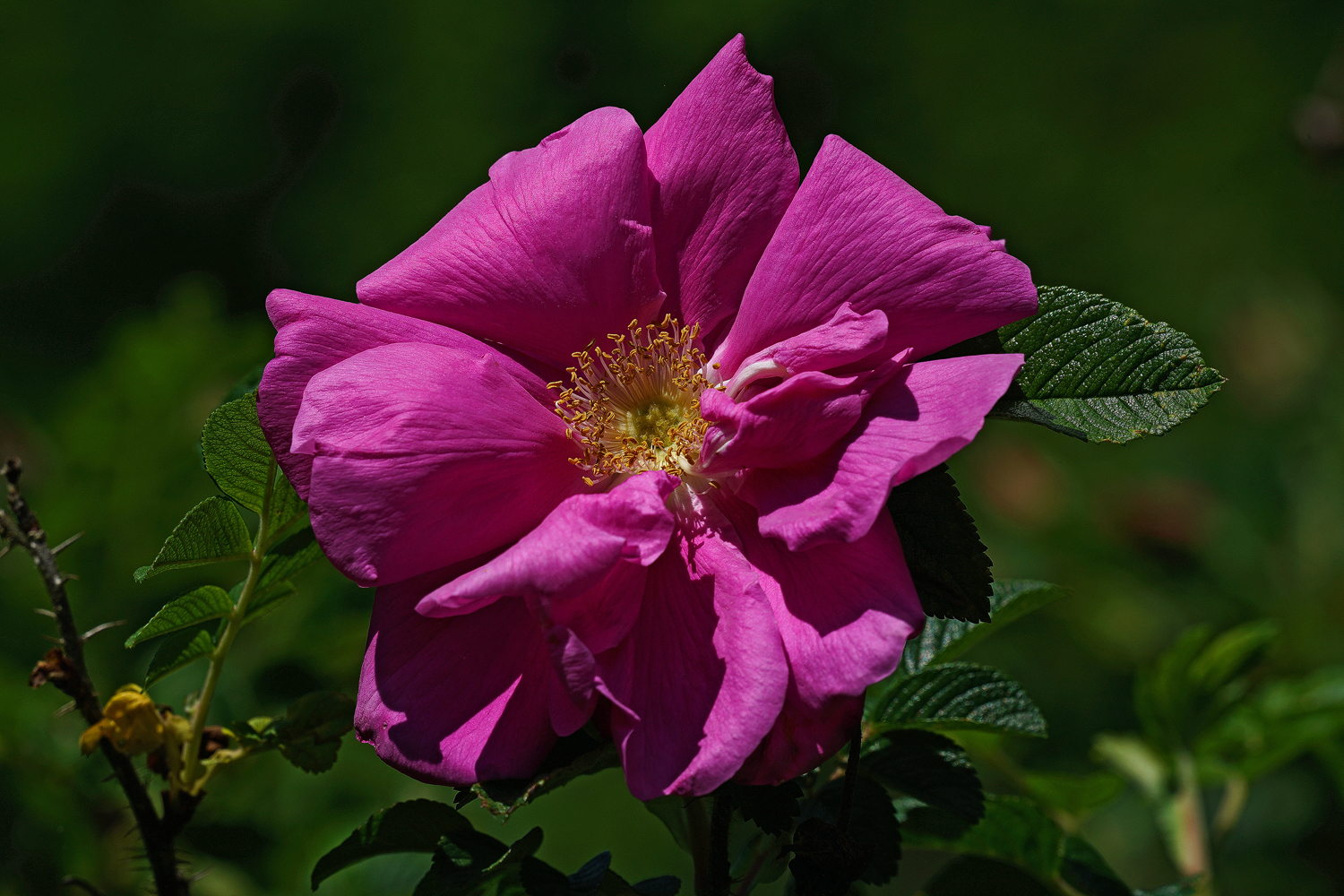 rosa rugosa author sava gregory and verena thank