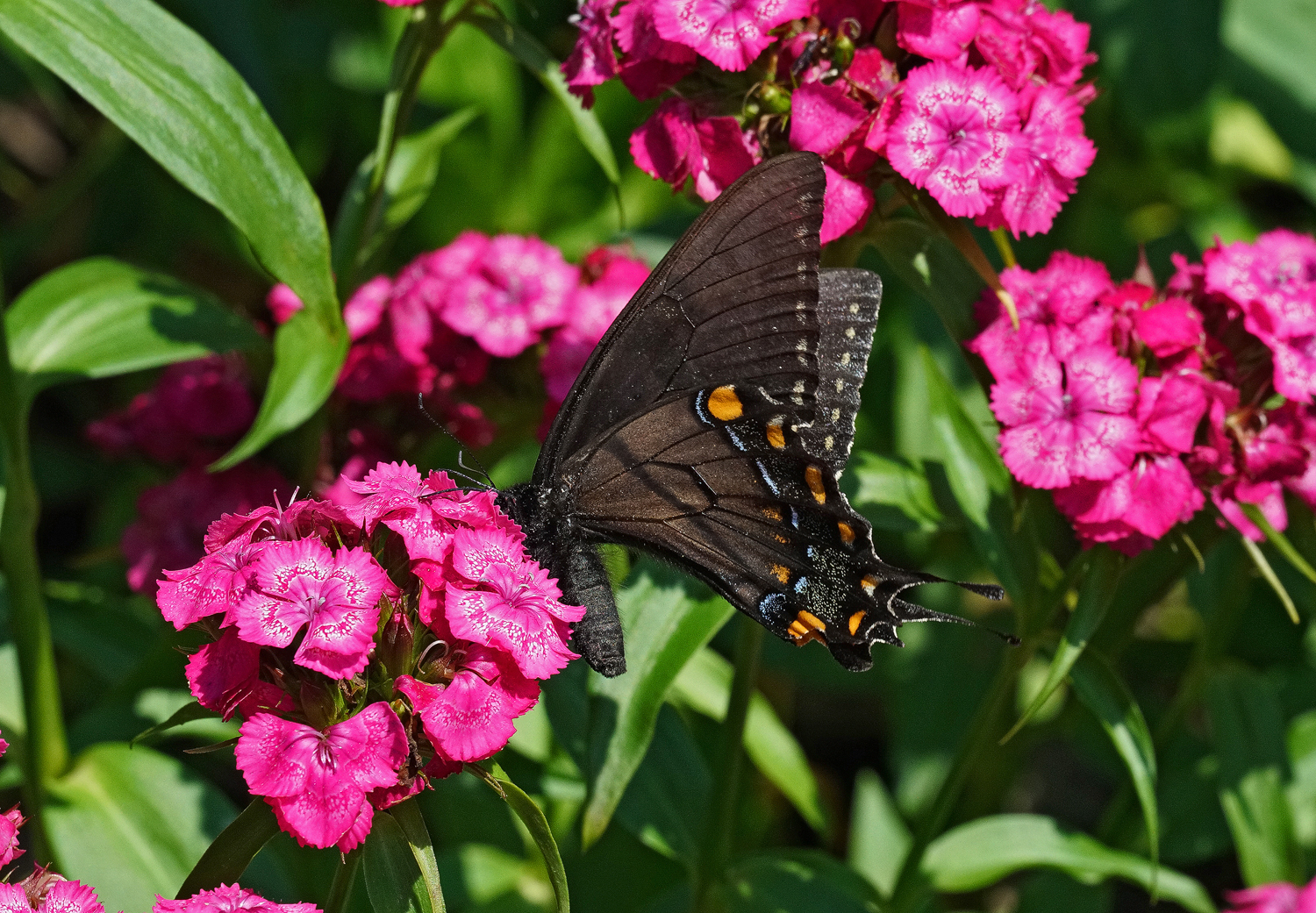 black swallowtail in the pink author sava gregory and verena