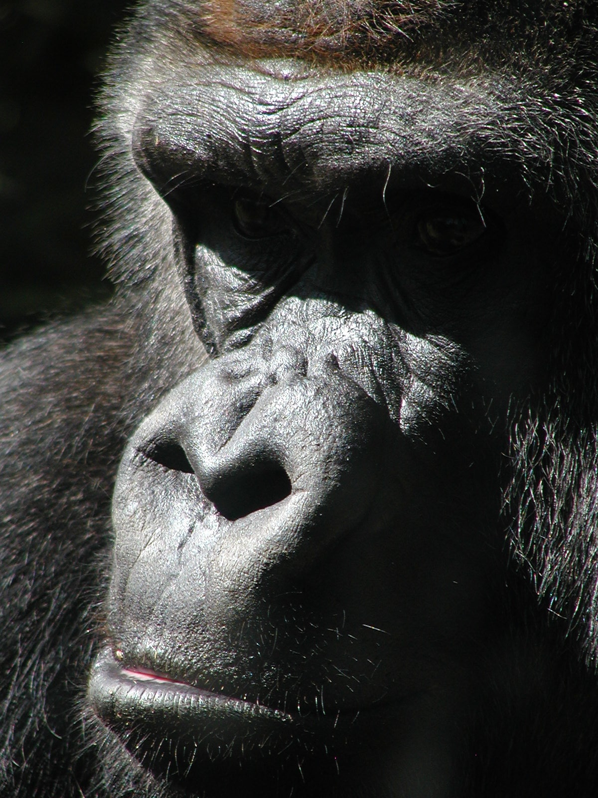 gorilla of my dreams author lucke charlie