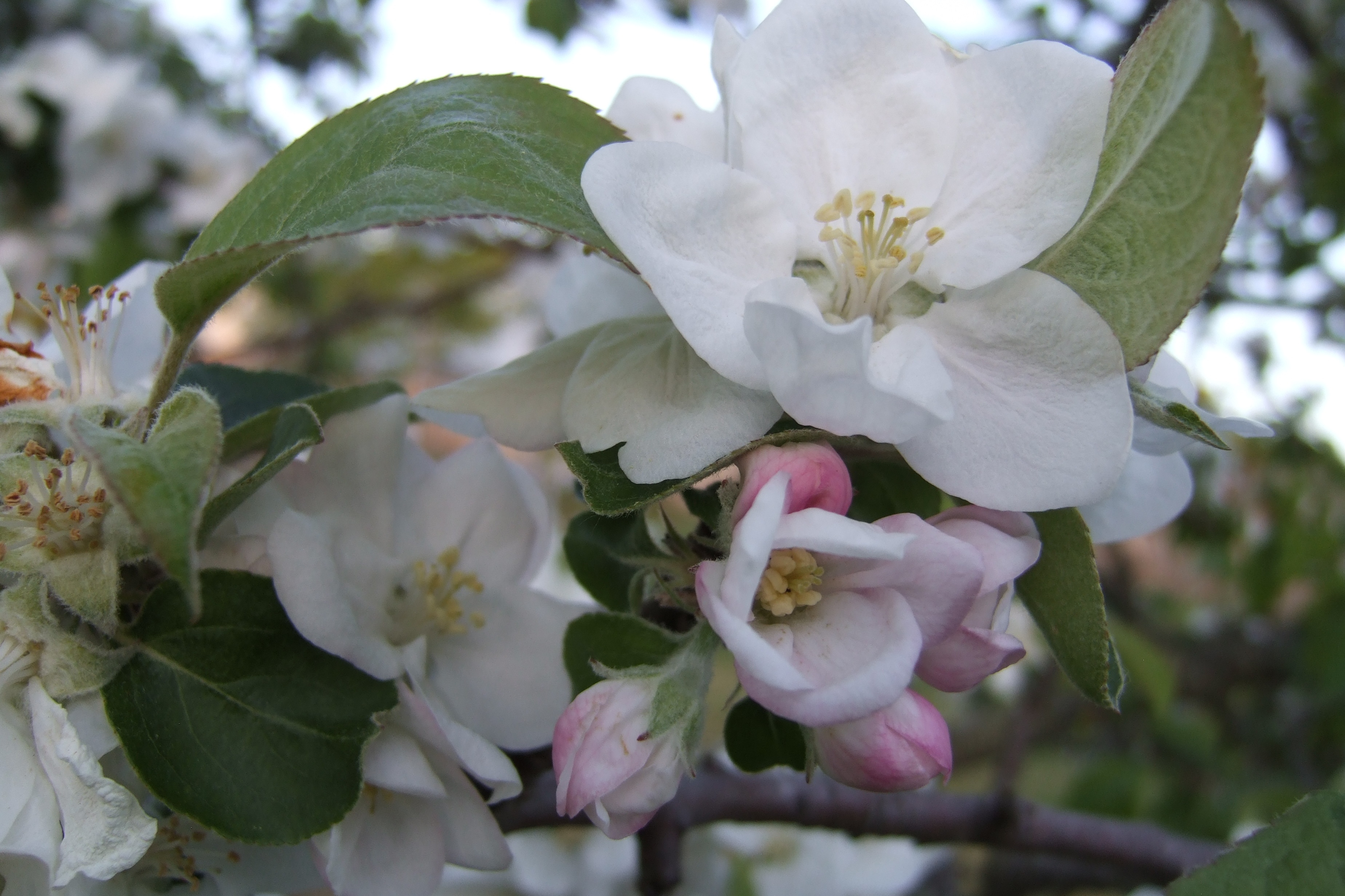 apple blossoms author lucke charlie bountiful cr