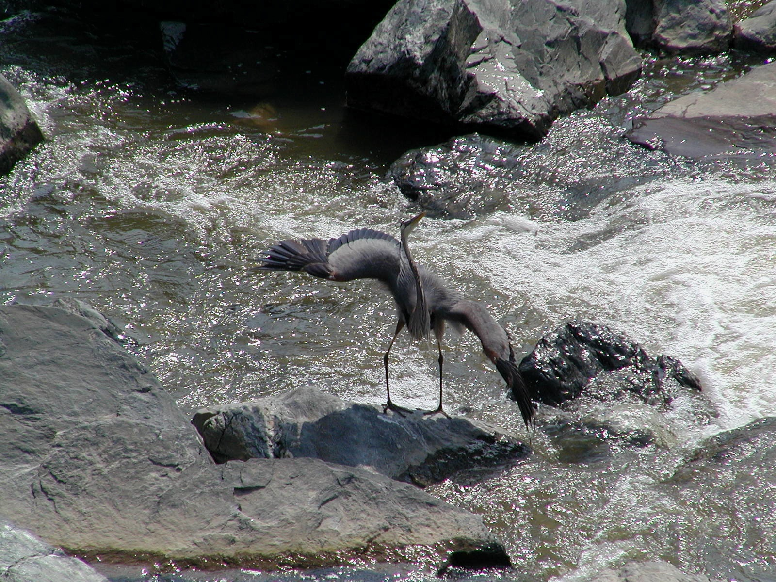 great blue heron with wings akimbo author lucke c charlie