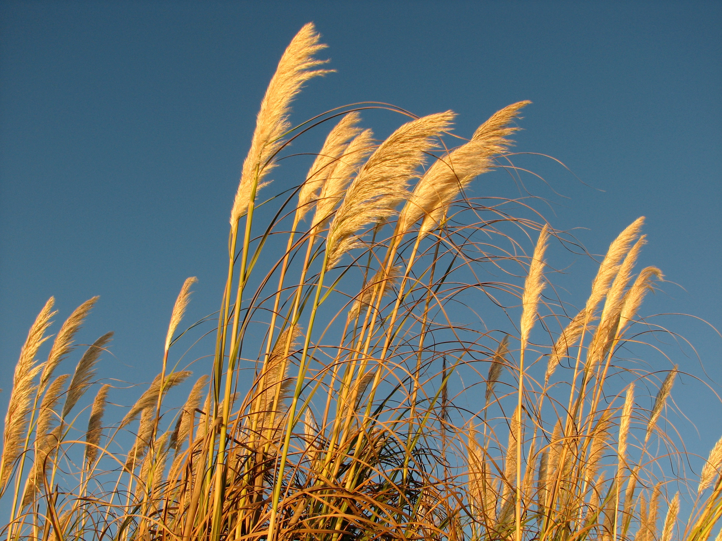 pampas grass at the beach author lucke charlie