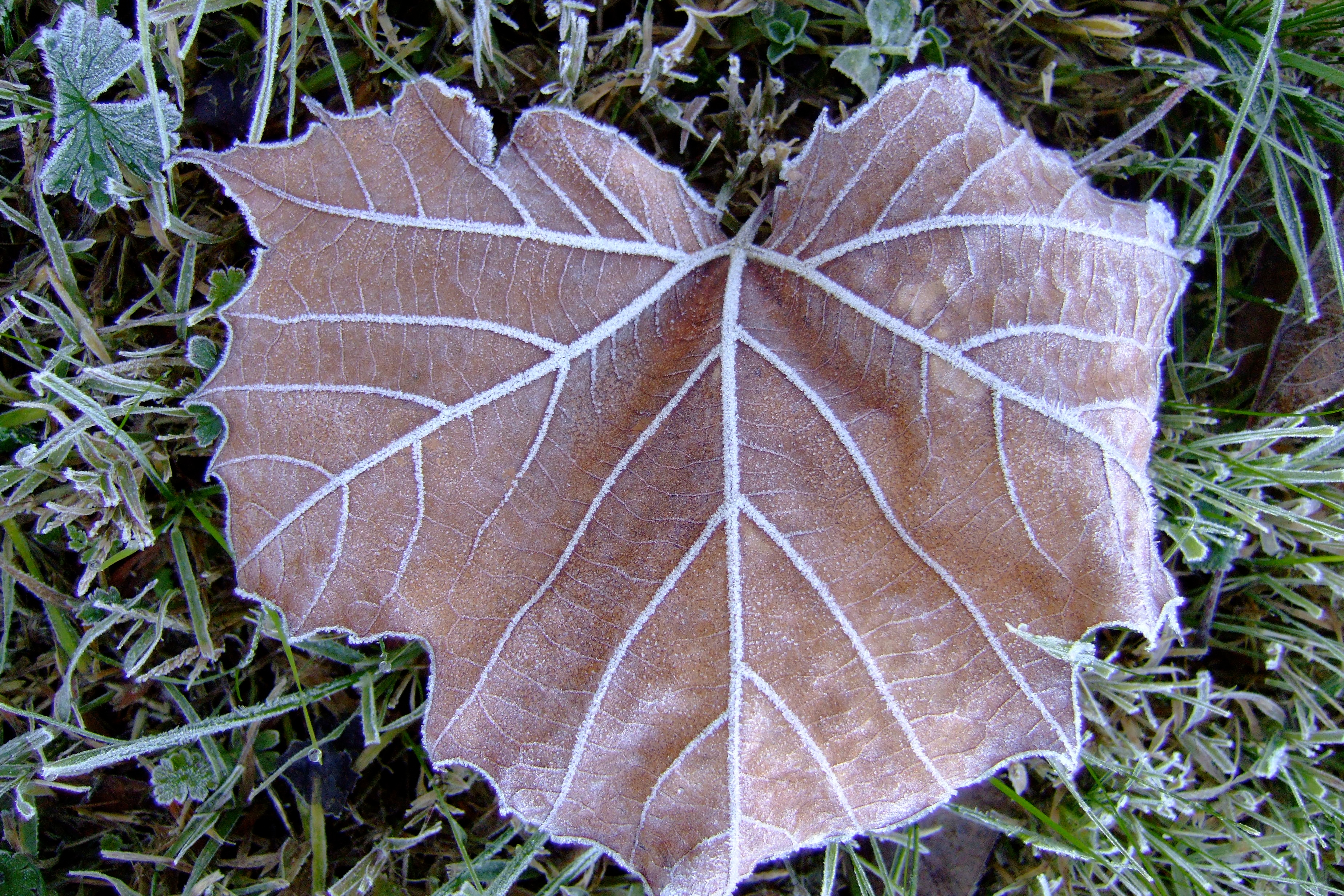 frosted leaf author lucke charlie