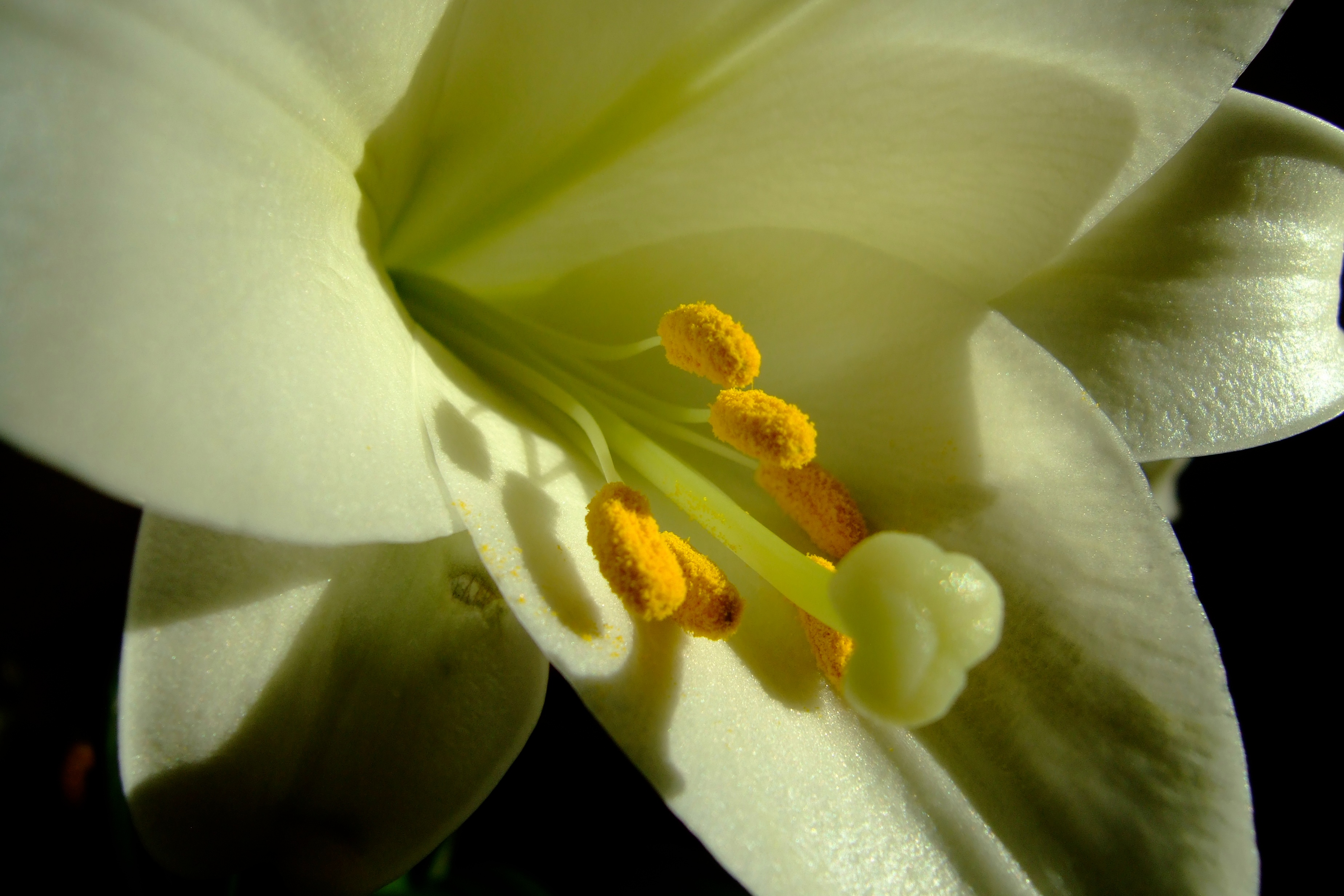 easter lily author lucke charlie