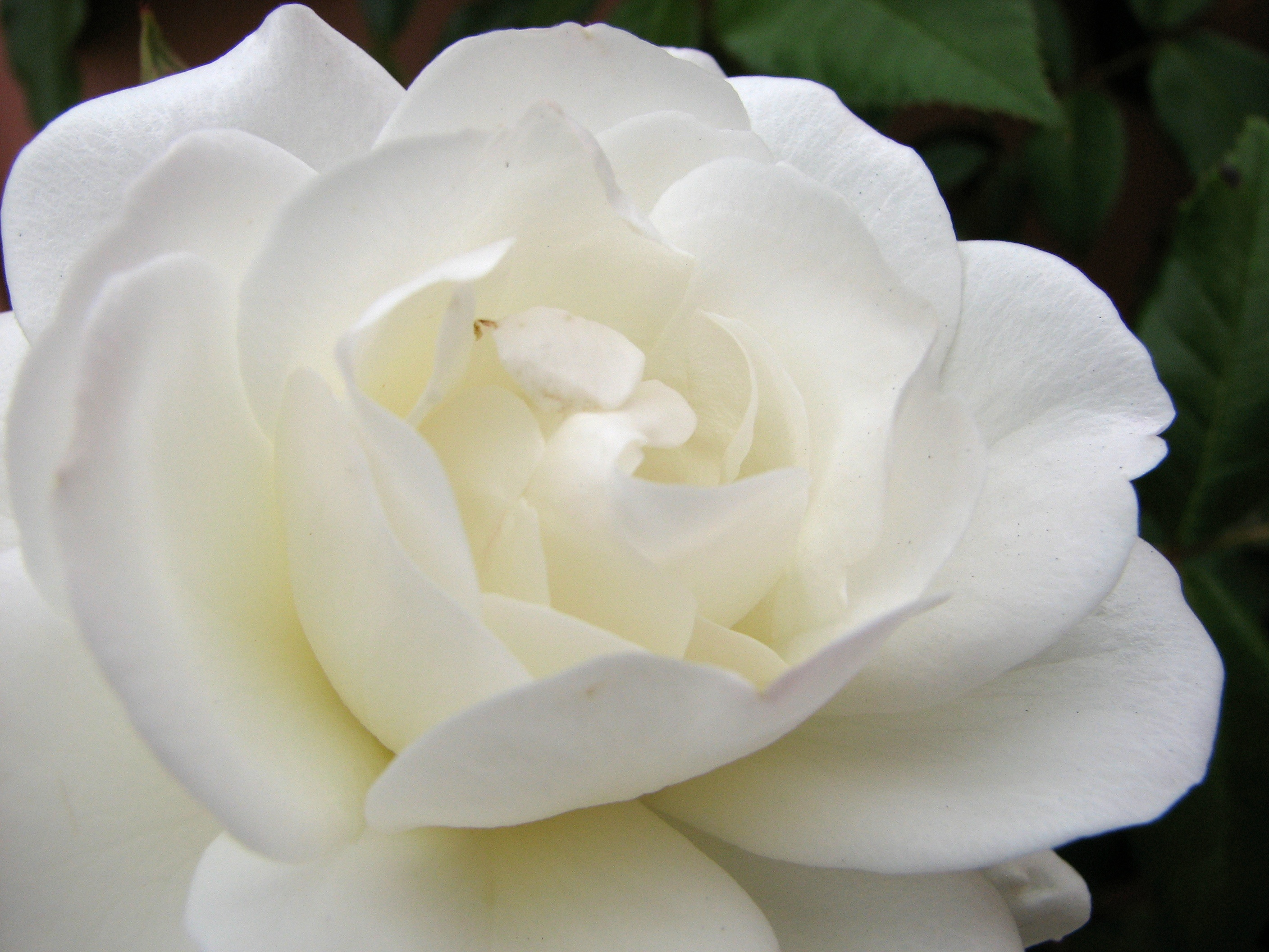 white rose with a hint of yellow author lucke cha charlie
