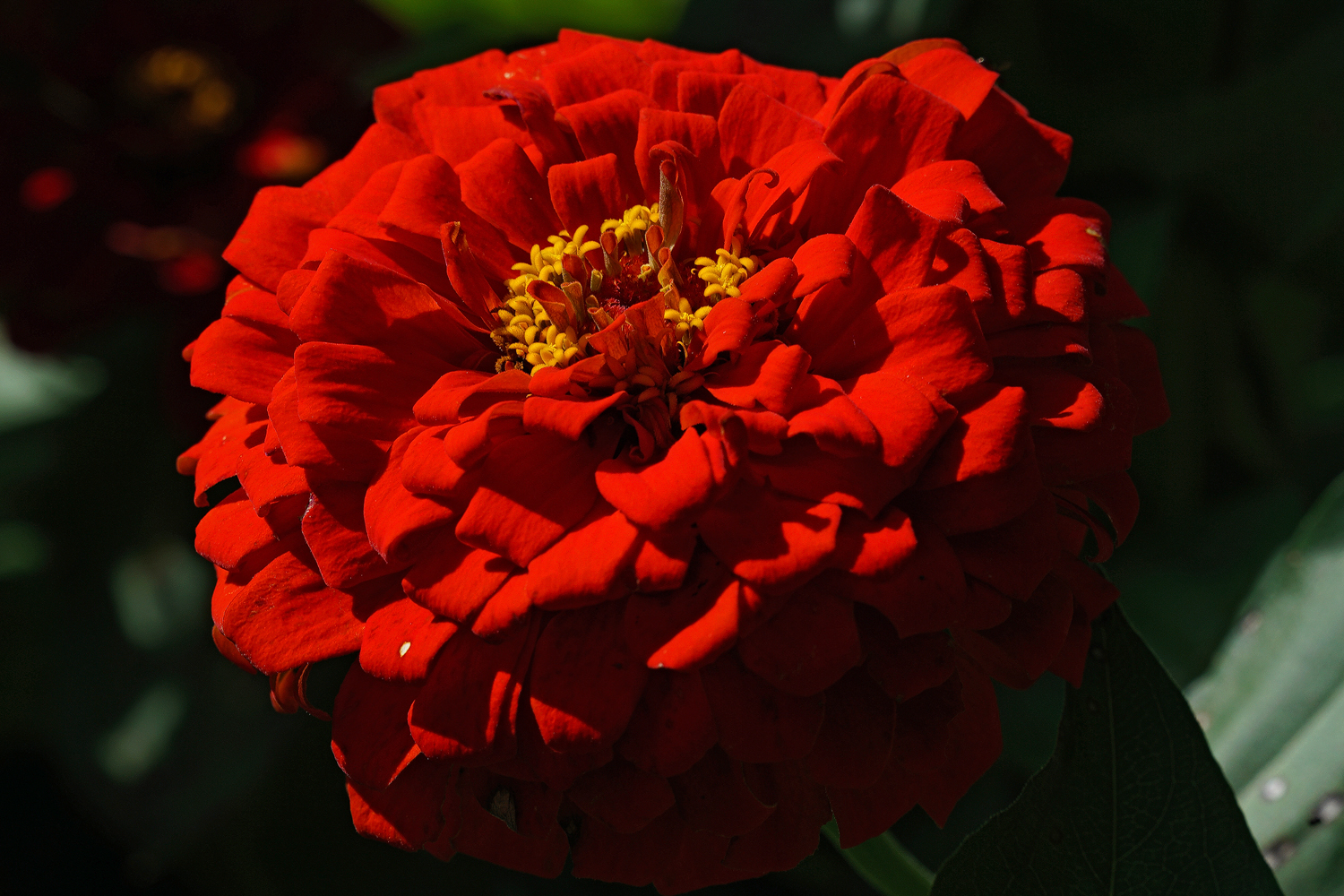 zinnia in on the red action author sava gregory a and verena