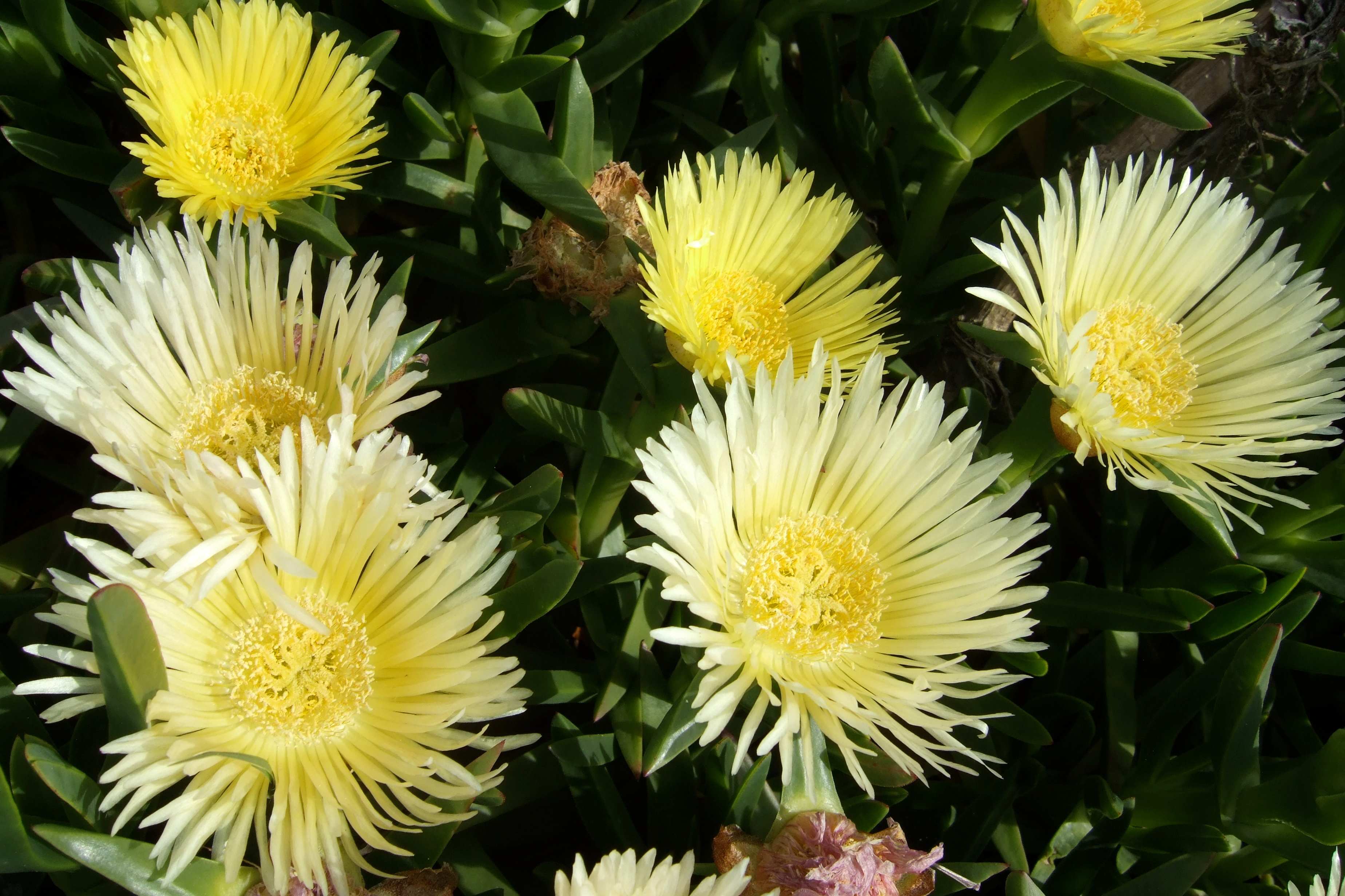 ice plant blooms author lucke charlie