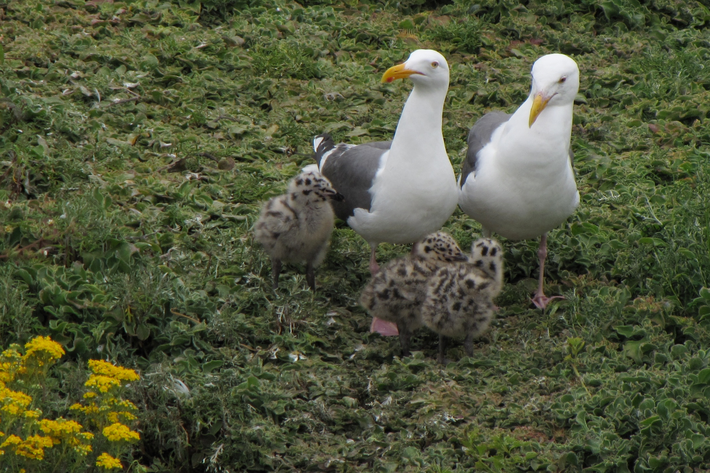 gulls with chicks author lucke charlie