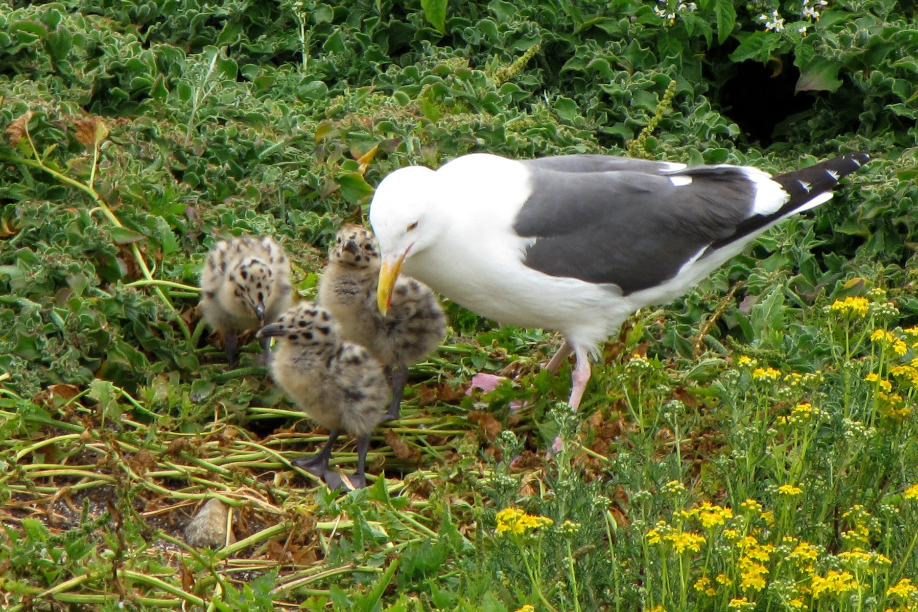 gull with chicks author lucke charlie