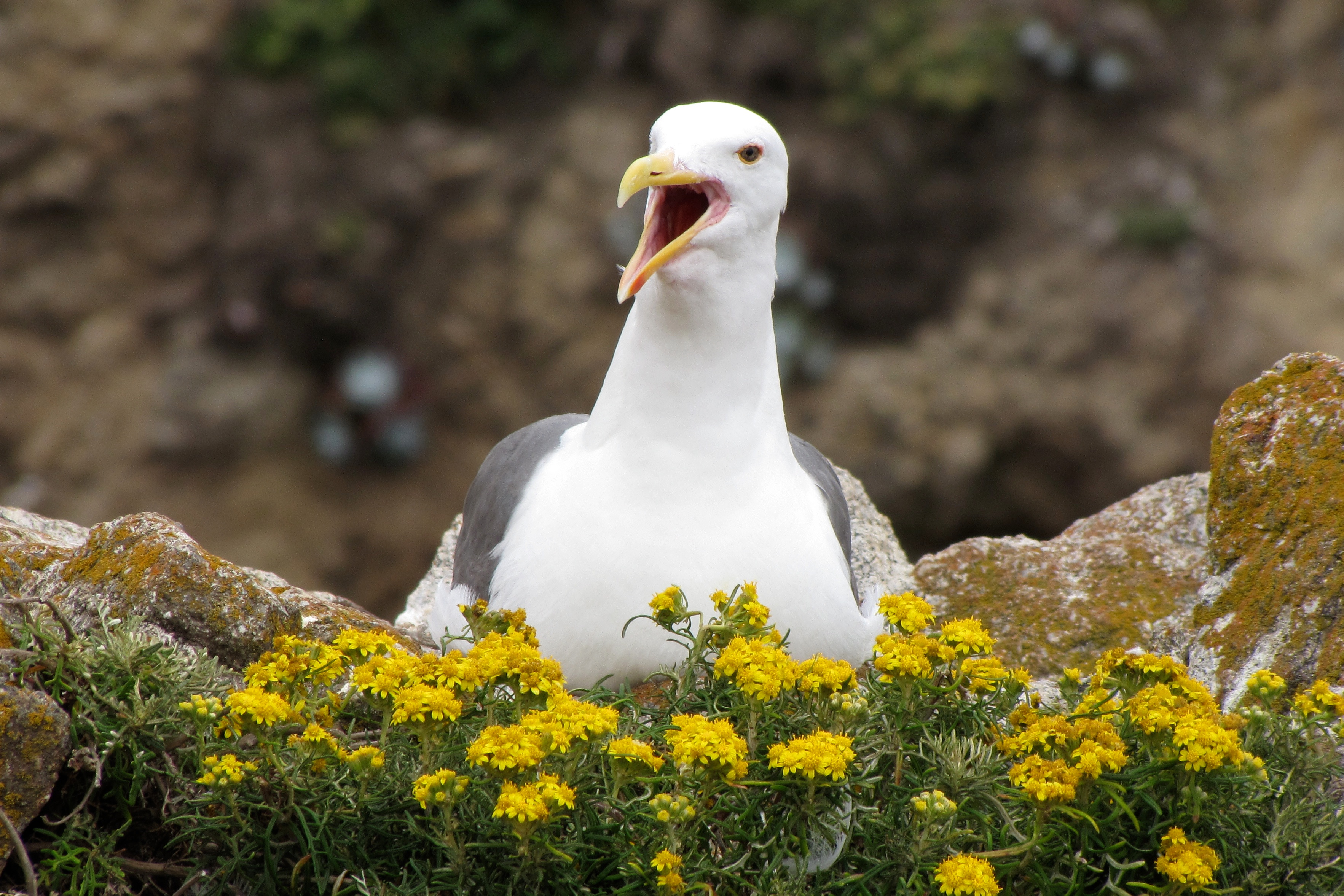 western gull speaks out author lucke charlie