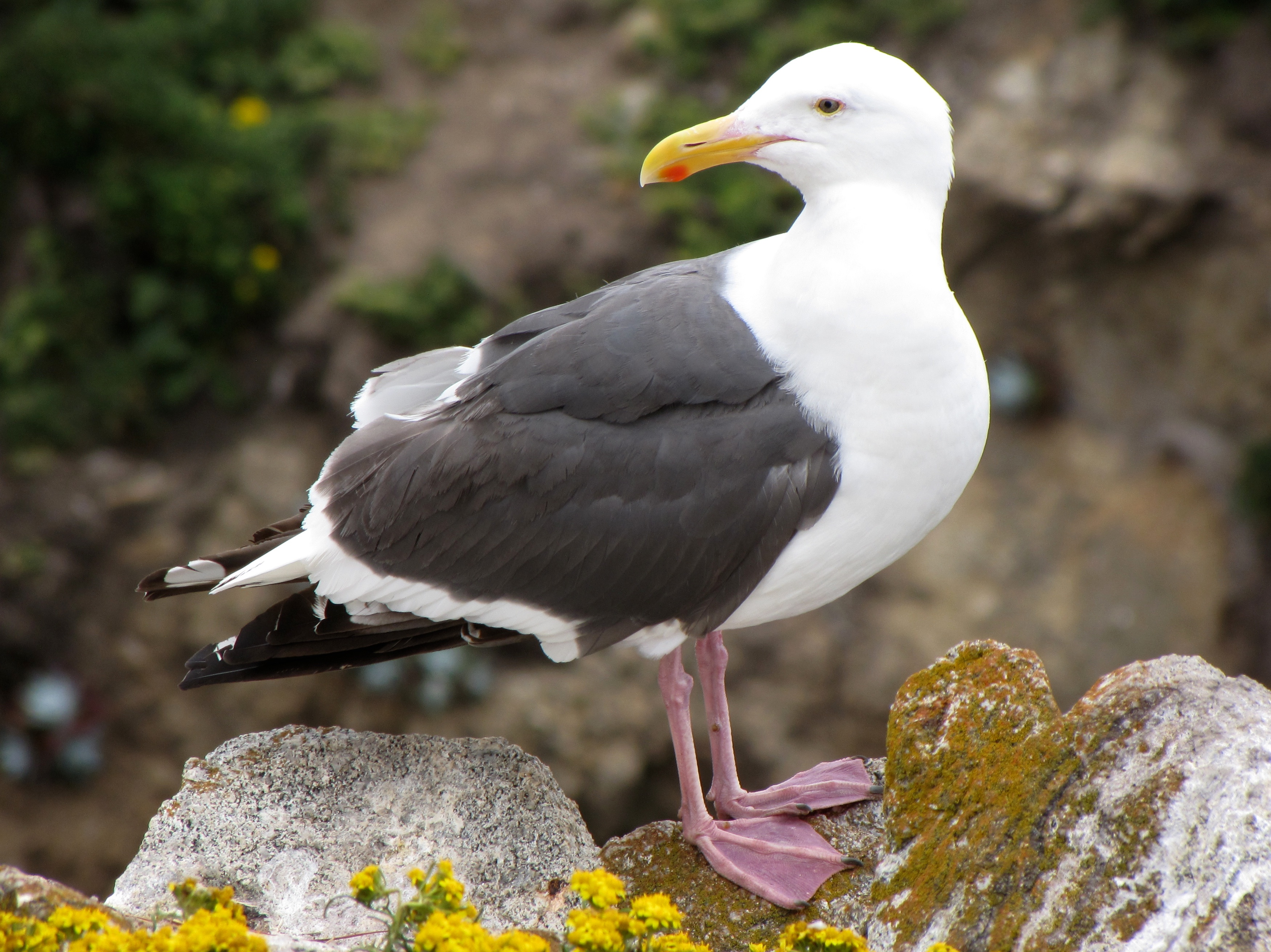 gull looking back author lucke charlie
