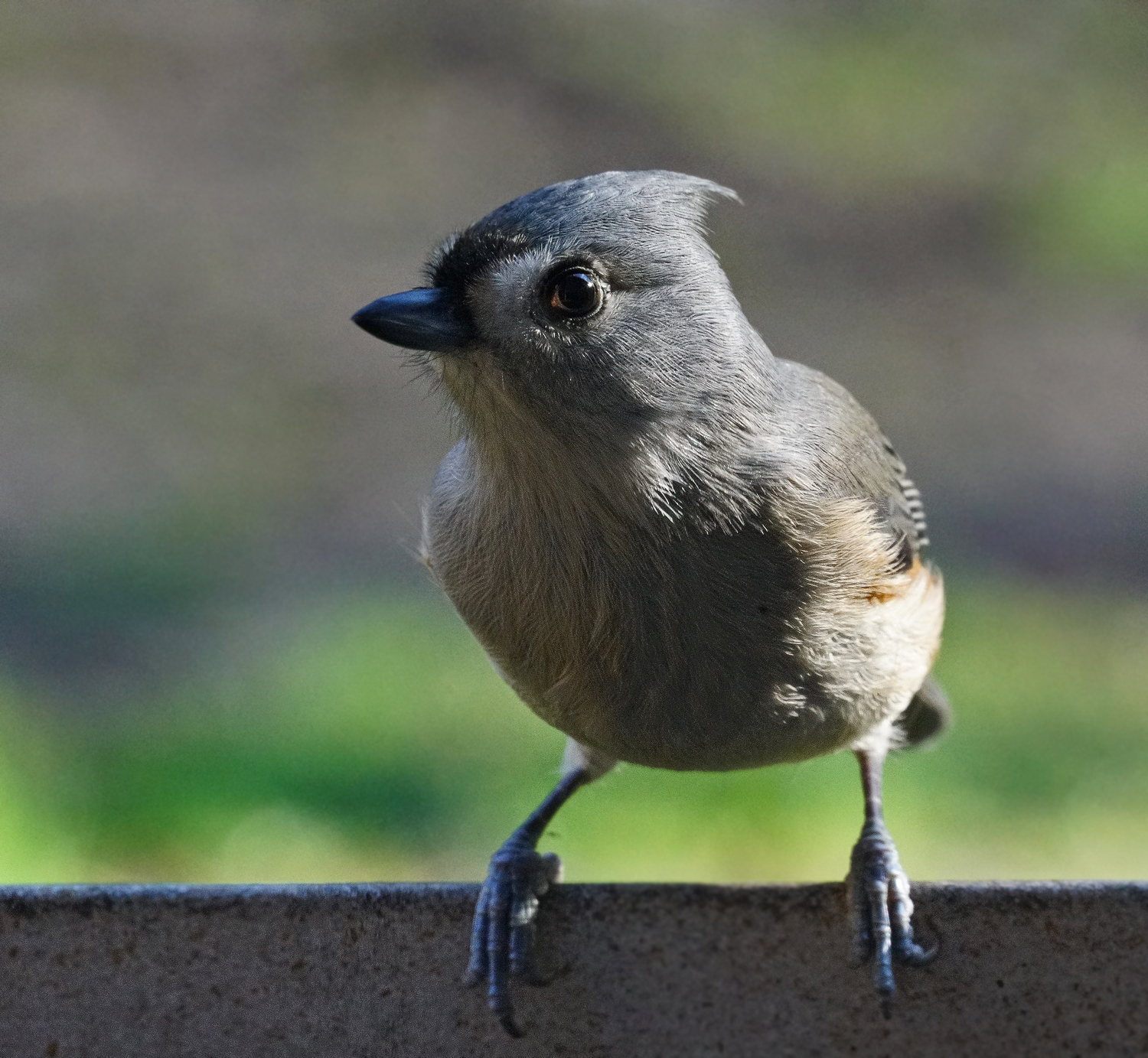 tufted titmouse author sava gregory and verena t