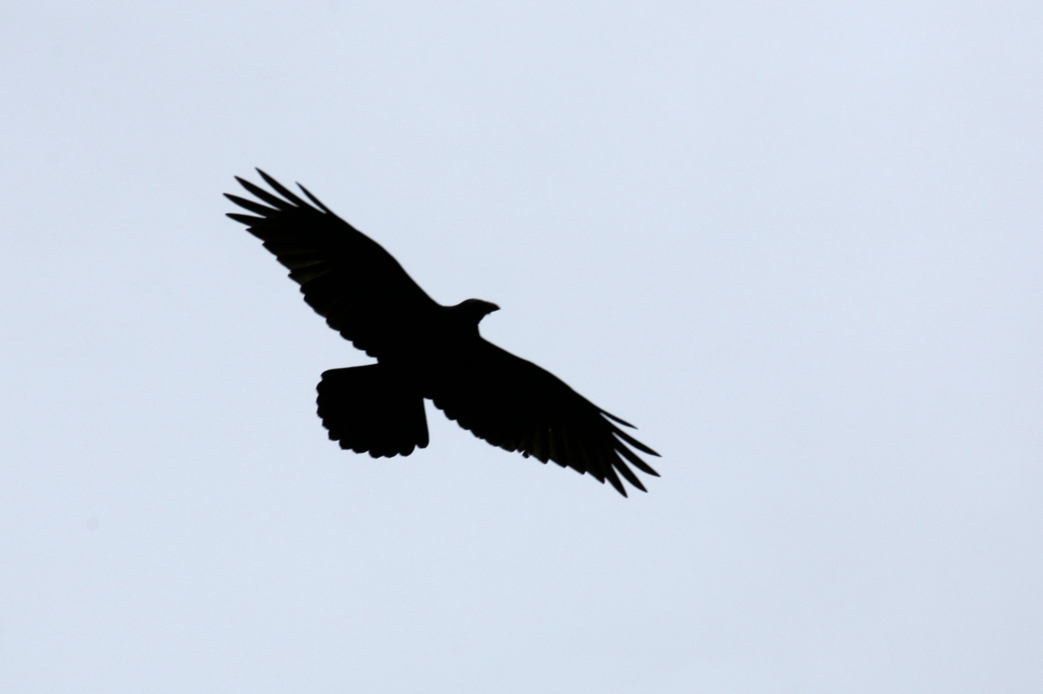 turkey vulture silouette author lucke charlie