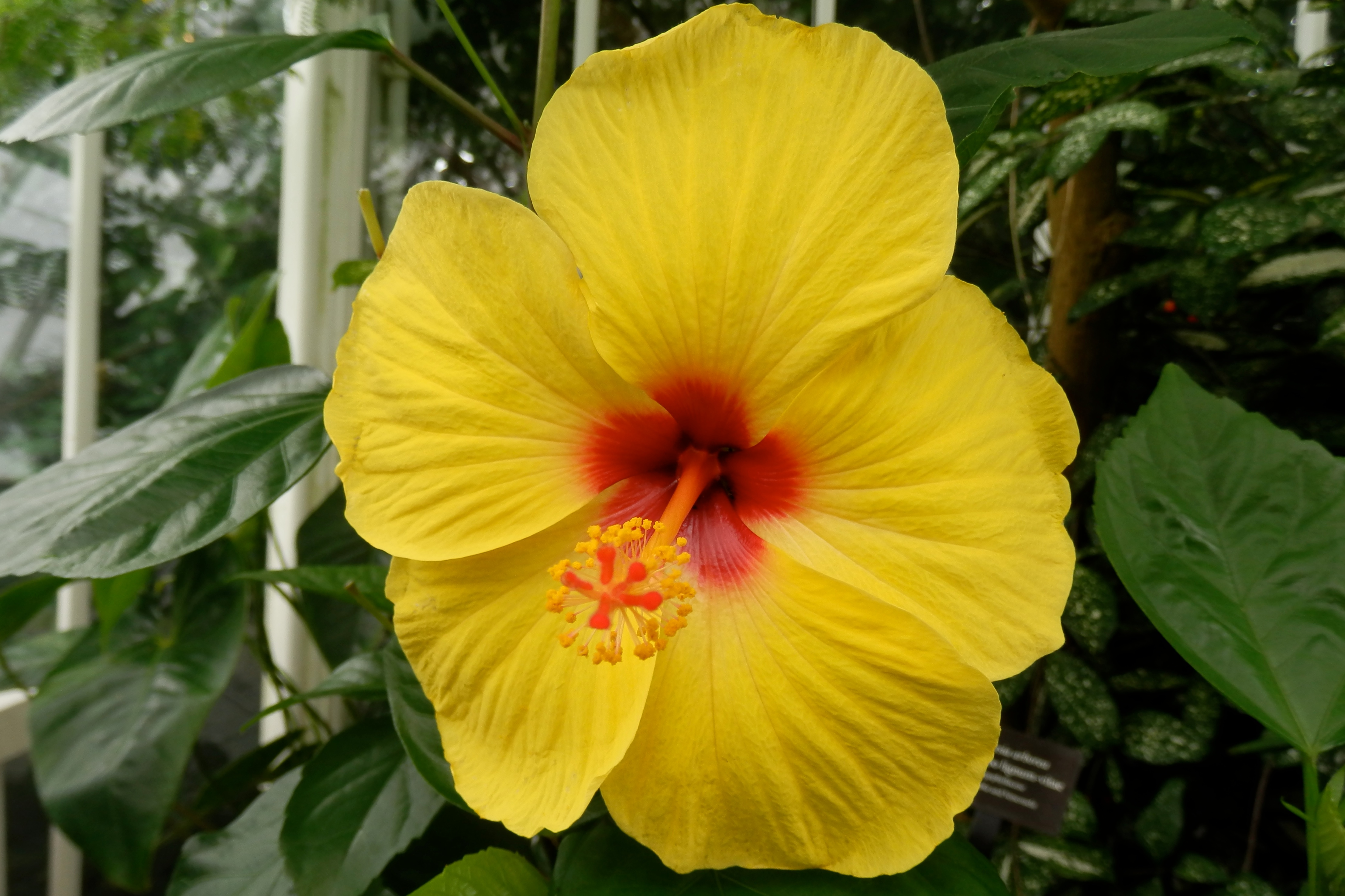 hibiscus author lucke charlie