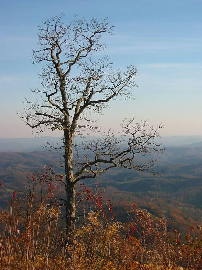 bare tree looking out over blue ridge mountains a barman dilip