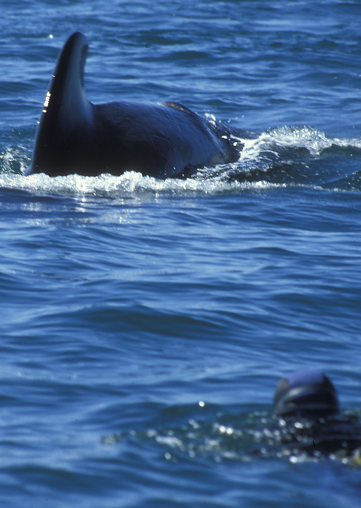 snorkeling with pilot whales baja california auth h michael