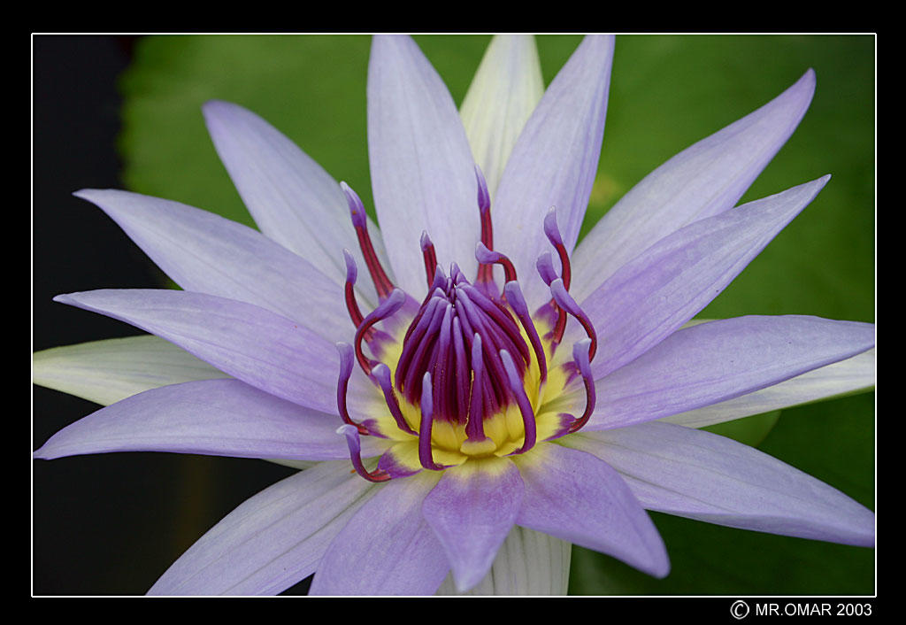 water lily iv the fire within author omar mr