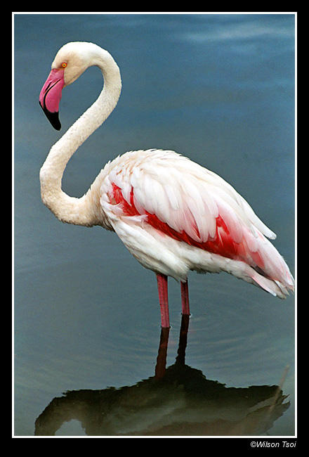 flamingo ii author tsoi wilson