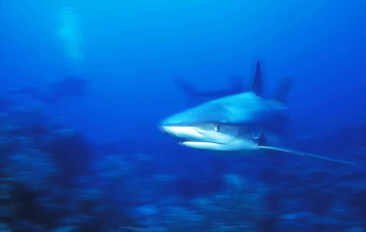 carribean reef shark author h michael
