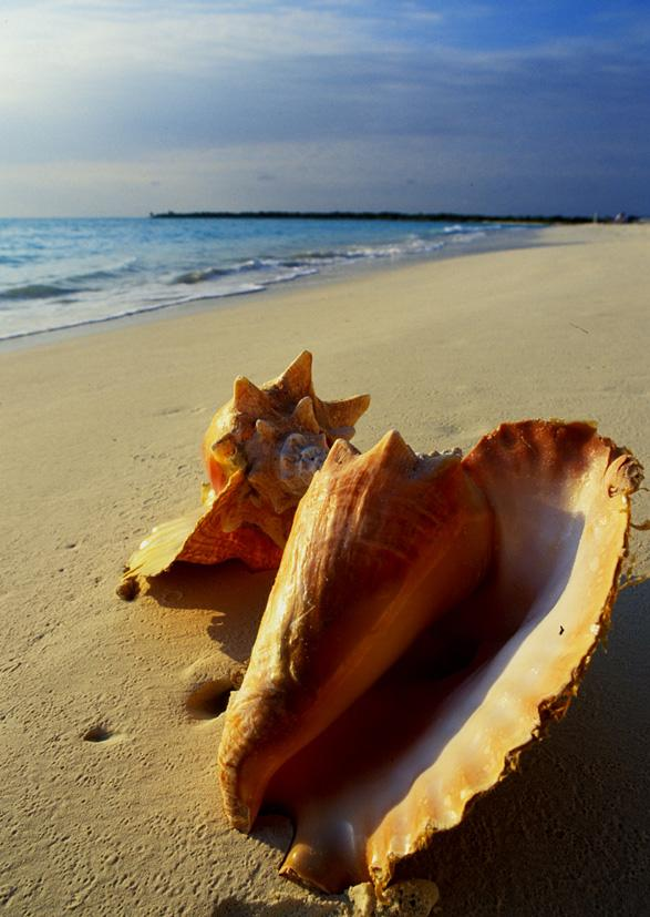 conch shells bahamas author h michael