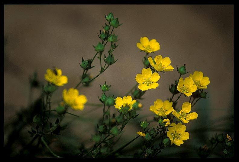yellow flowers author ernst brian