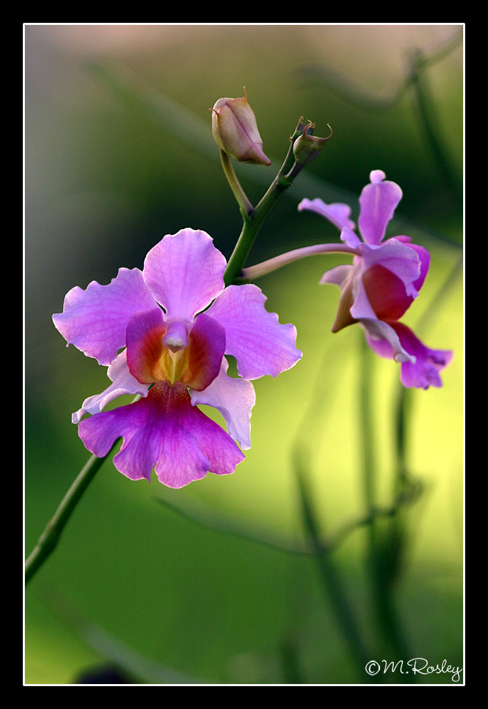 orchid i author omar mr