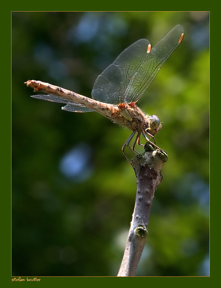 dragonfly author beutler stefan