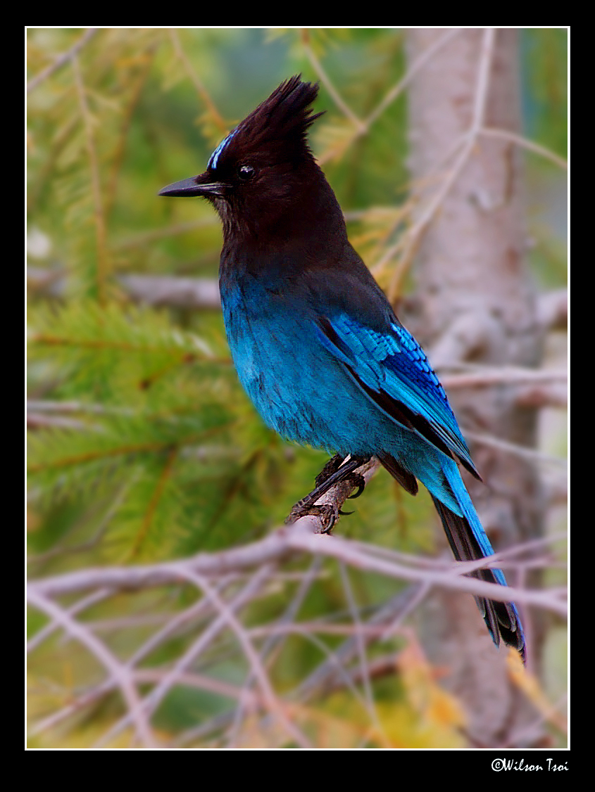 perching steller s jay author tsoi wilson