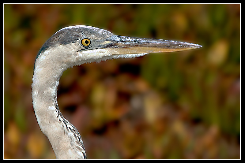 great blue heron author brandan hector