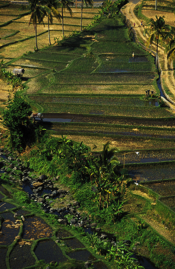 rice fields bali author h michael