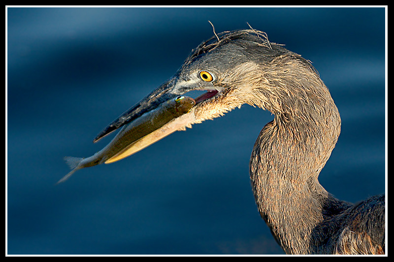 young great blue heron author brandan hector