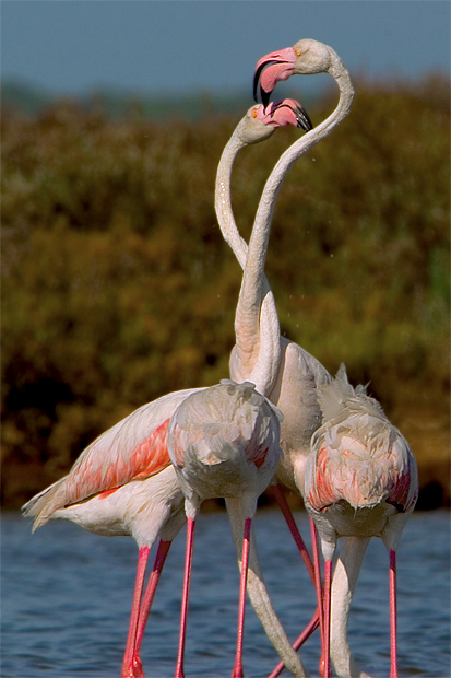 flamenco rosado greater flamingo phoenicopterus ru pulido domnguez angel