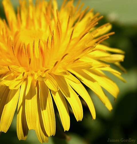 golden sunshine a weed by any other name author g gordley james