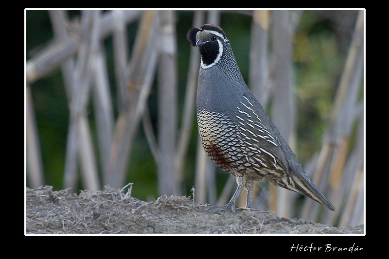 california quail callipepla californica author b brandan hector
