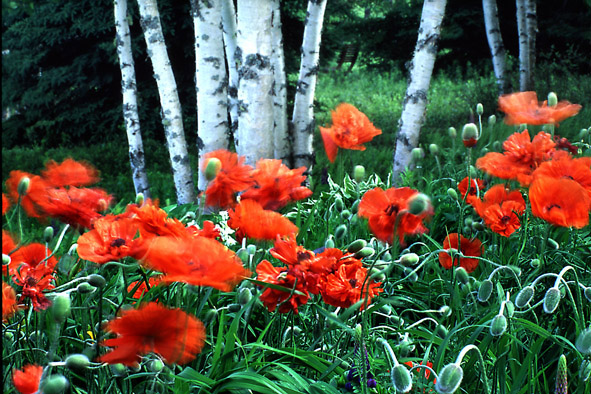 the wind in freeman s poppies author vanourkova j jana