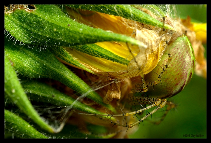 spider and the fading sunflower author walker cla clay