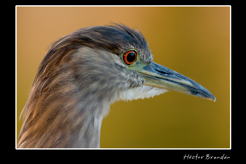 black crowned night heron young nycticorax author brandan hector