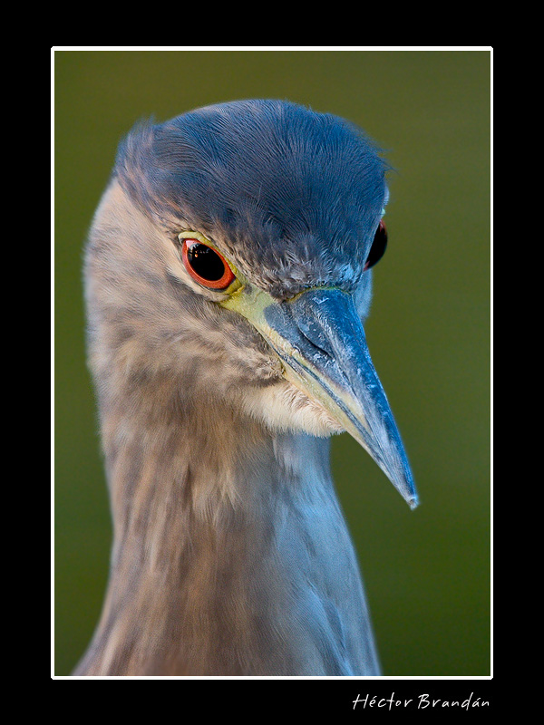 black crowned night heron young iv nycticorax aut brandan hector