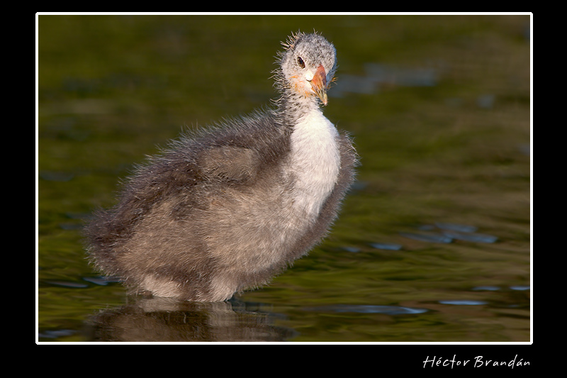 three weeks young american coot author brandan he hector